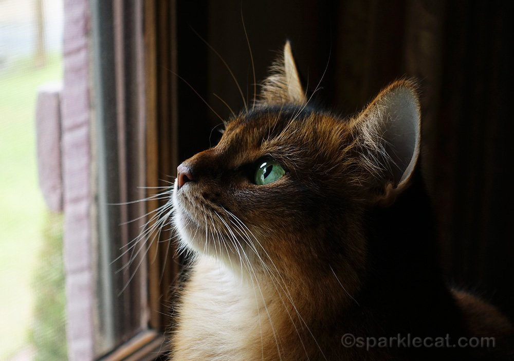 profile shot of somali cat looking out window
