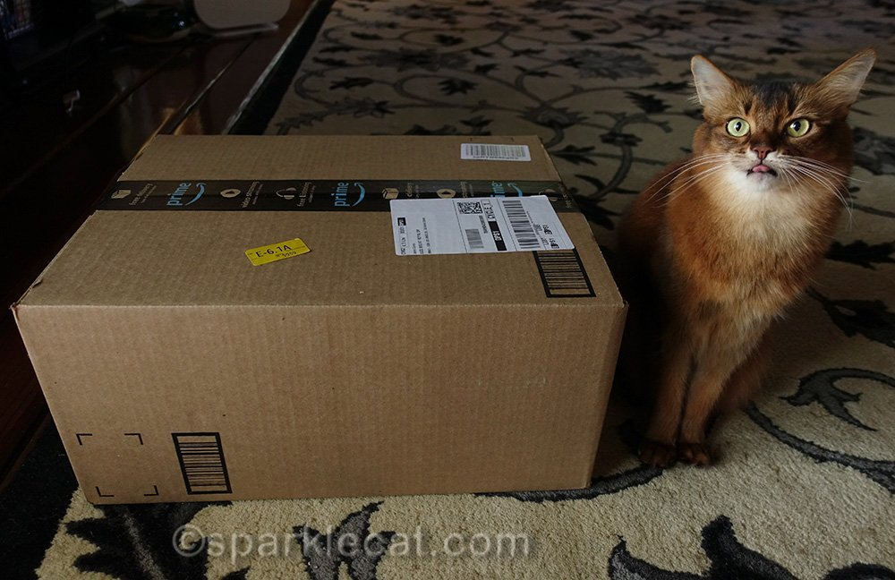 somali cat with tongue out next to box
