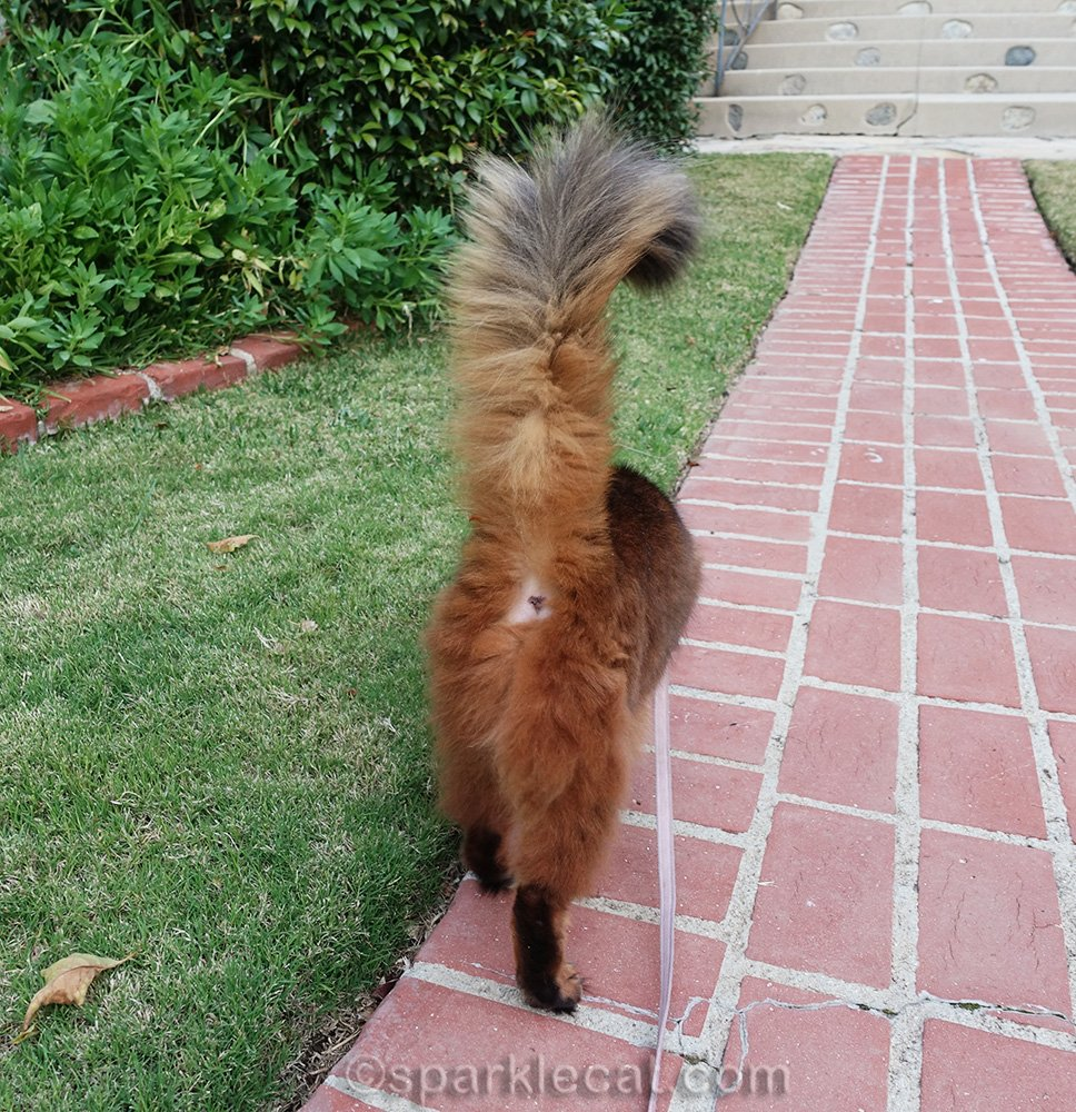 somali cat on leash walking away from camera