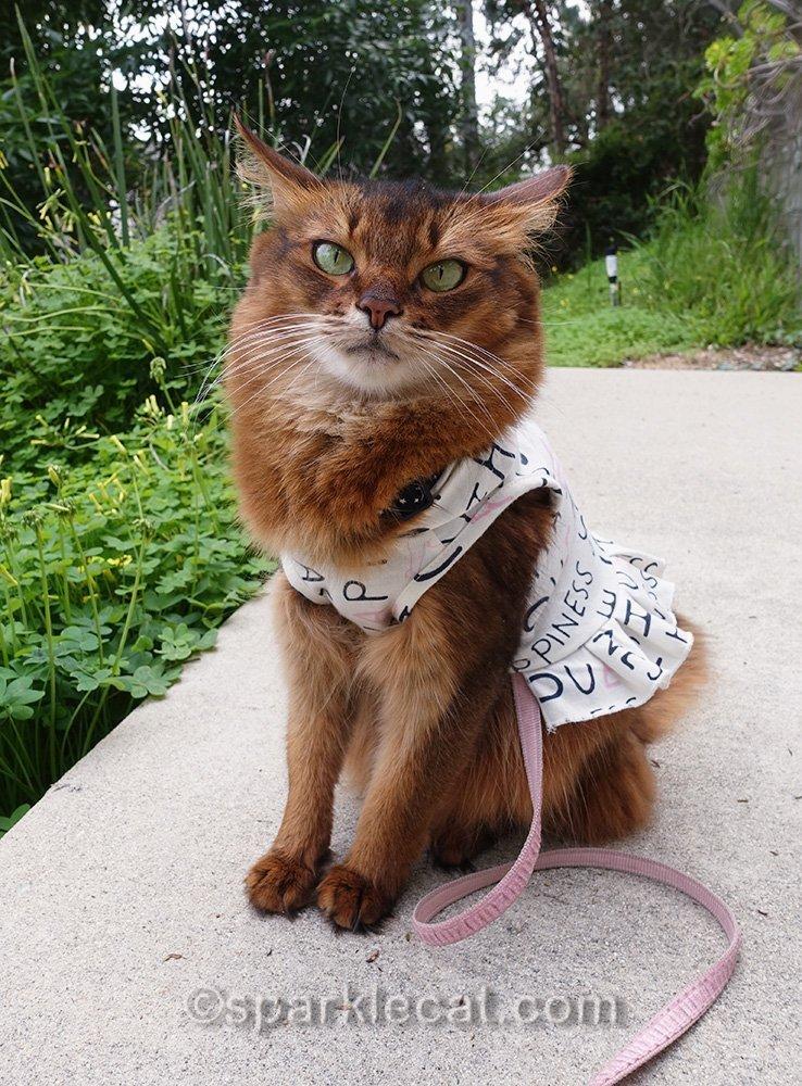 annoyed somali cat in garden