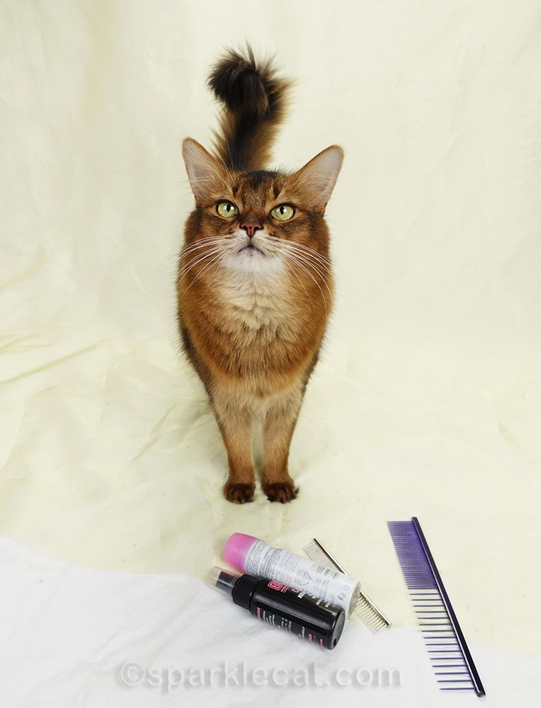 somali cat on the set with grooming tools