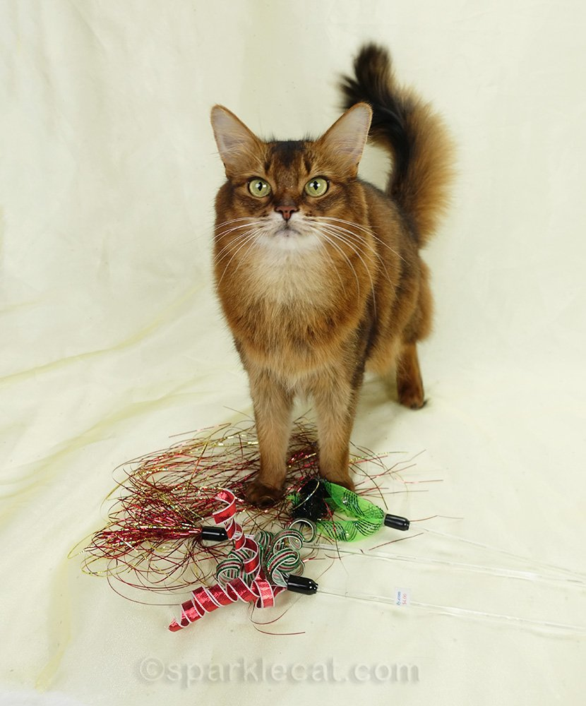 somali cat on the set with cat toys