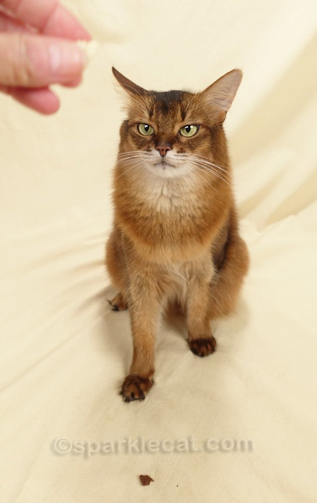 somali cat trying to decide between a treat in the hand and one on the floor