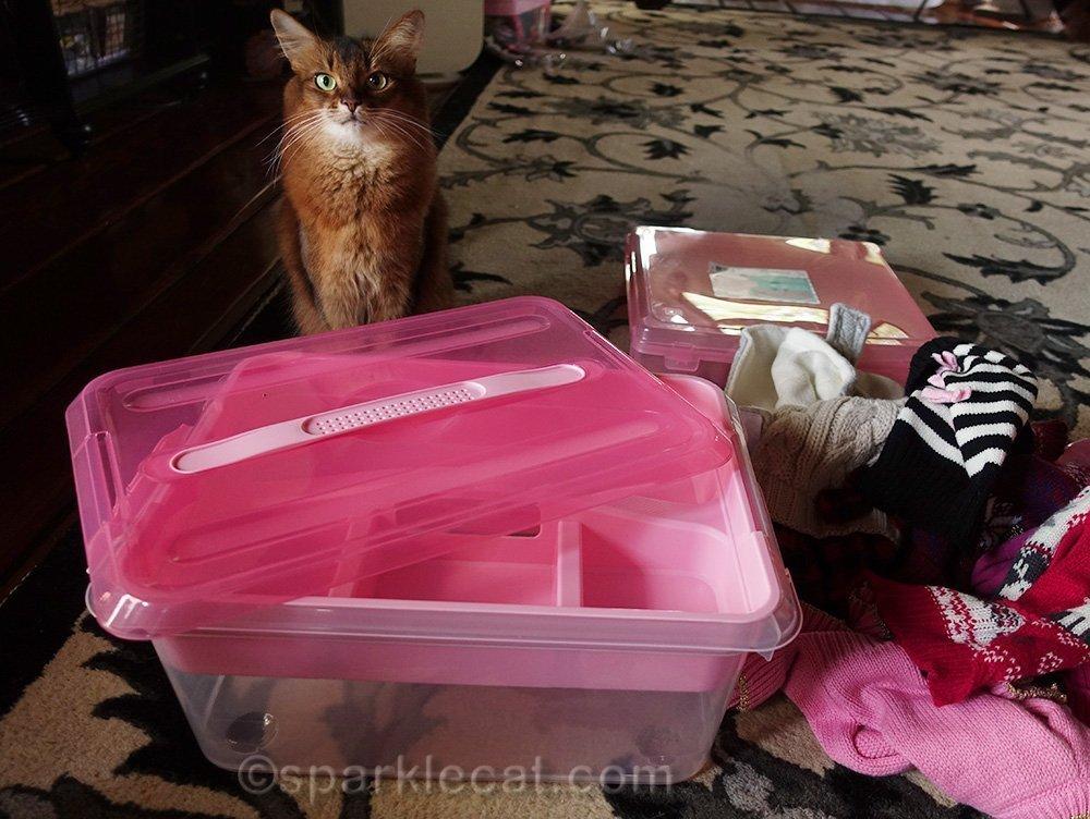 somali cat having wardrobe box woes