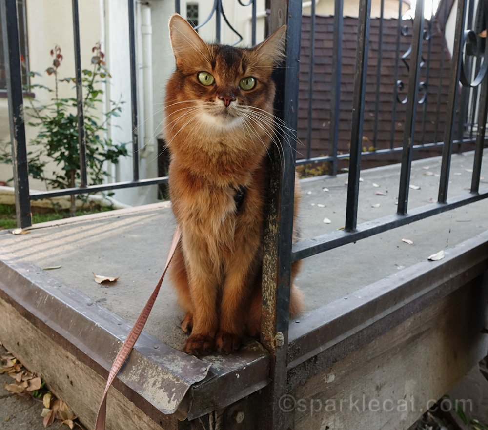 somali cat sitting on bridge