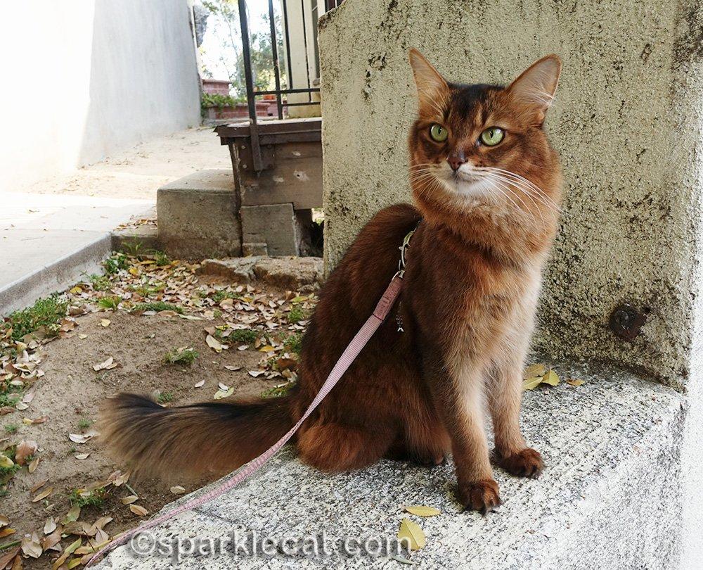 somali cat on leash, bird watching