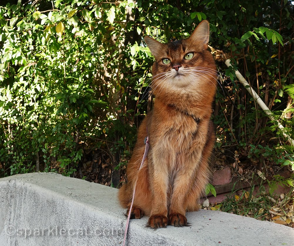 somali cat posing on wall ledge