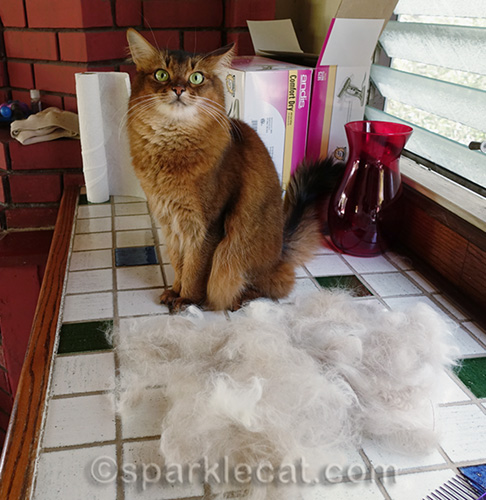 somali cat is amazed by ragdoll cat's fur pile