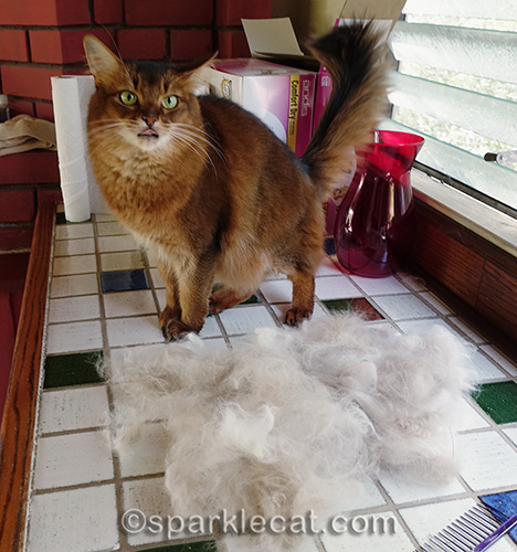 somali cat with tongue out in front of ragdoll fur pile