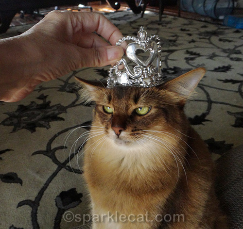 somali cat trying on tiara
