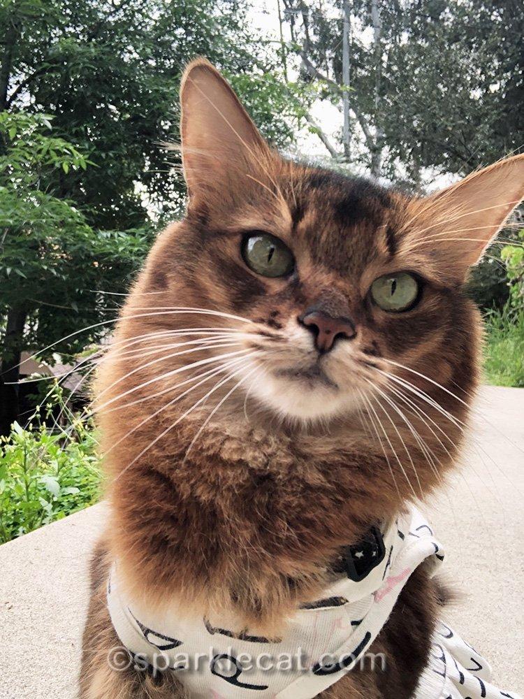 somali cat mediocre selfie