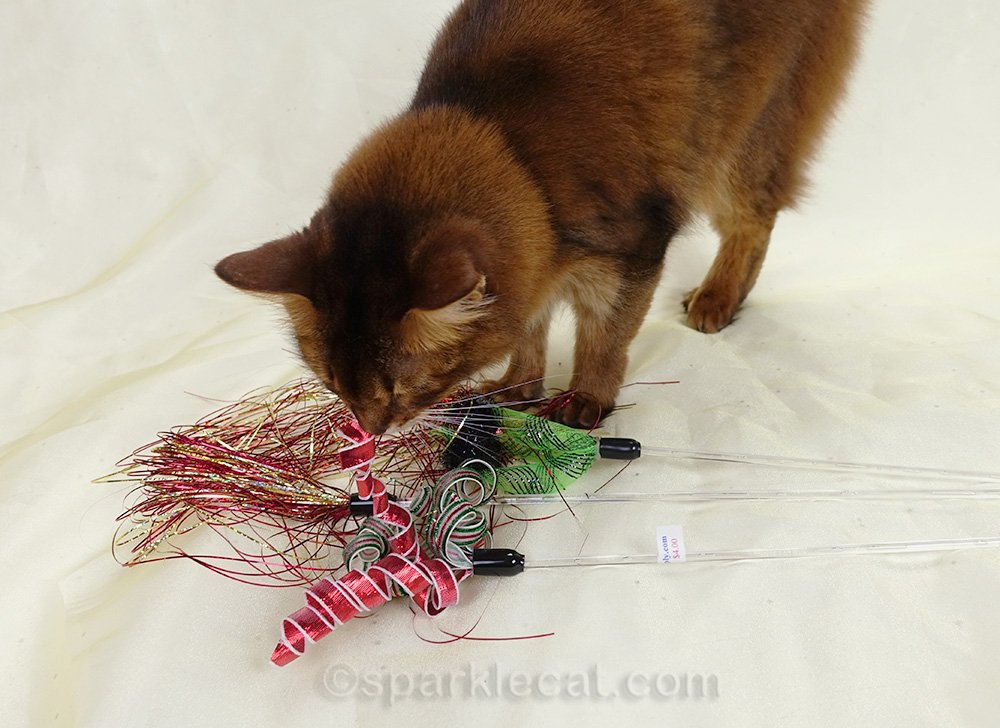 somali cat checking out cat toys during photo session