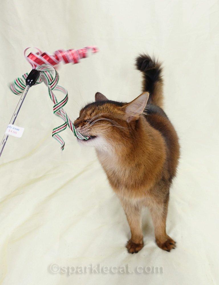 somali cat biting a cat toy