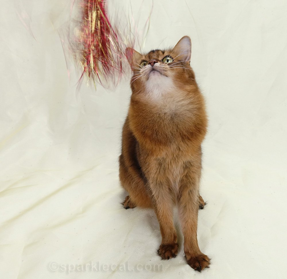 somali cat looking at cat toy strands