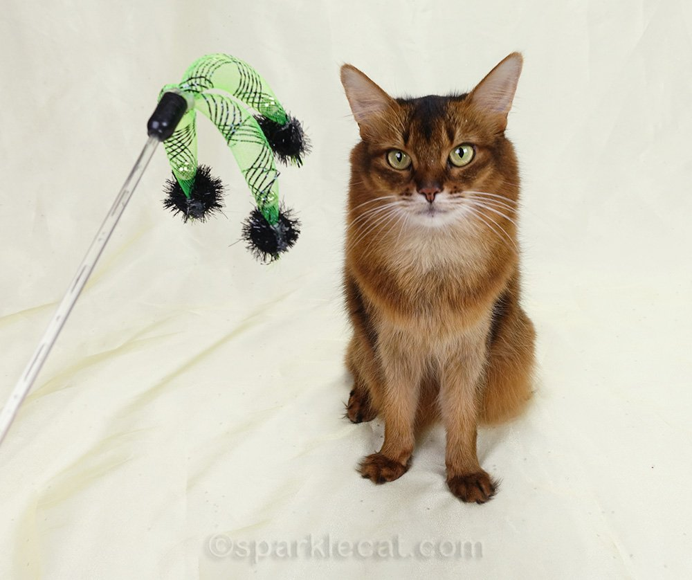 Somali cat unhappy with cat toy