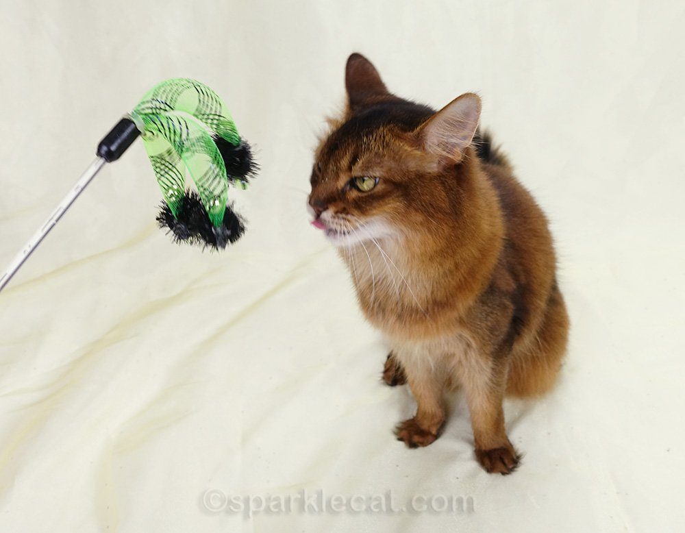 Somali cat dissatisfied with cat toy and sticking tongue out at it