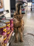 somali cat at pet store, rubbing on cans of cat food