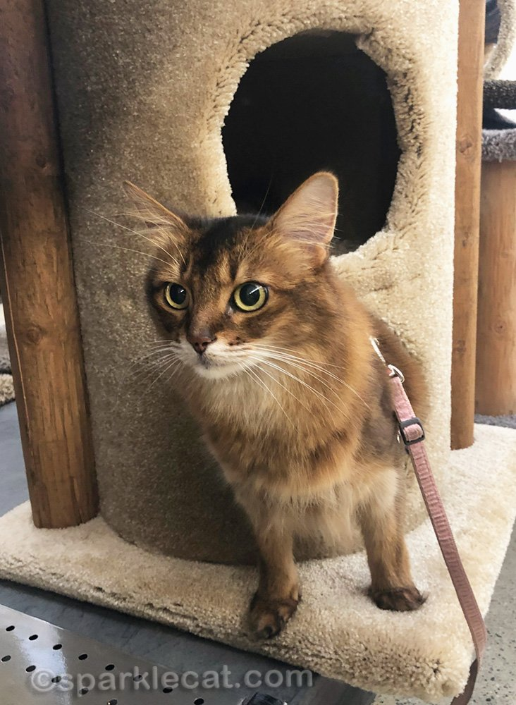 somali cat emerging from a cat tower at pet store