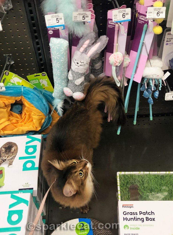 somali cat looking at the cat toys while shopping