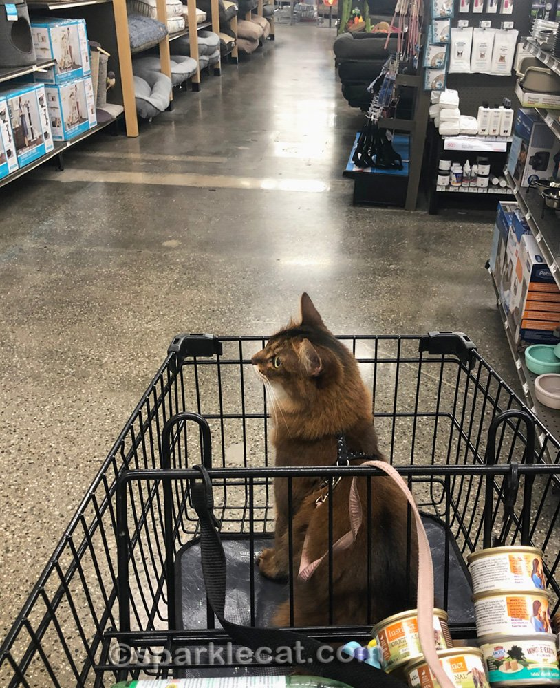 Somali cat in shopping cart, ready to go to check out