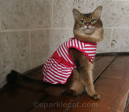 somali cat wearing her new dress