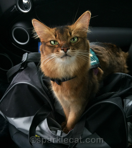 therapy cat in car, waiting to visit some boys homes