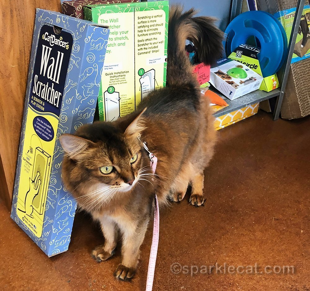 somali cat by cat toy rack at pet store