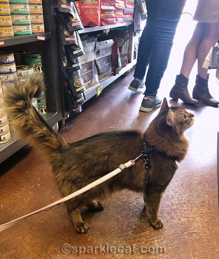 somali cat at checkout counter at pet store
