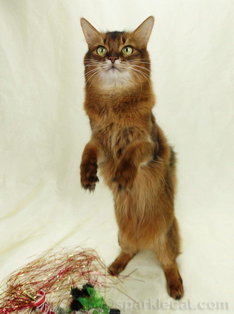 somali cat sitting up on set for treats