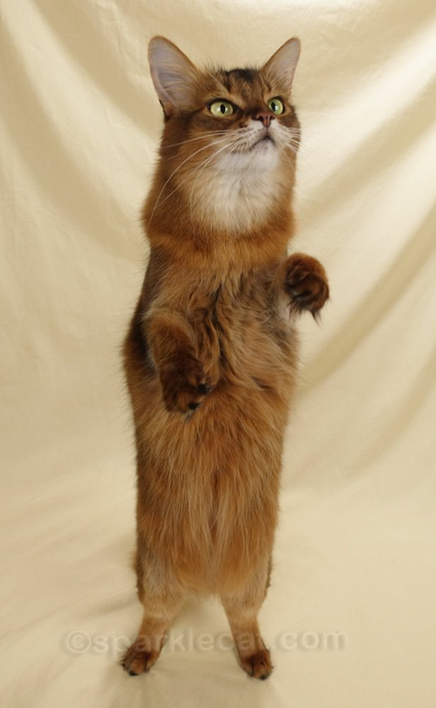 somali cat standing tall on hind legs