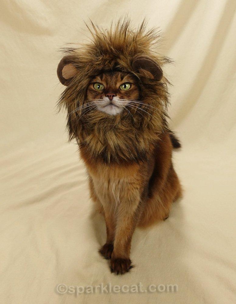 somali cat wearing a lion mane