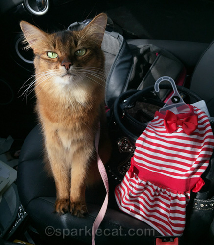 somali cat ready to return too-big dress