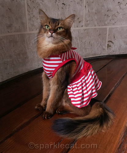 somali cat in red and white striped dress