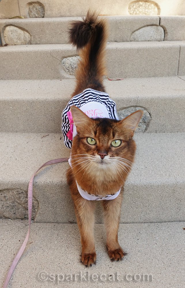 somali cat in Paris Is Always a Good Idea dress on the stairs