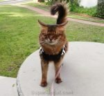somali cat outside wearing a sweater, with her eyes shut. One of several outtakes