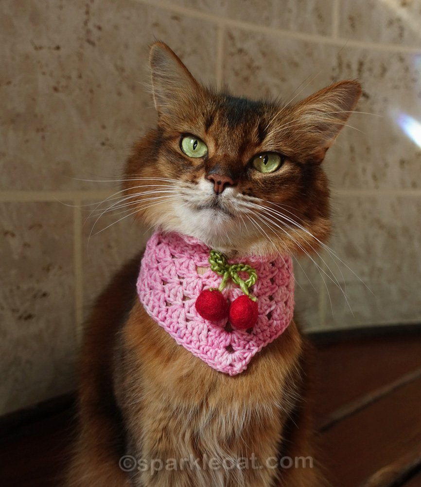 somali cat wearing scarf with cherry accent