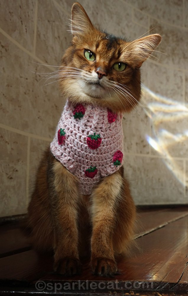 Somali cat wearing a hand knit sweater with strawberry appliques