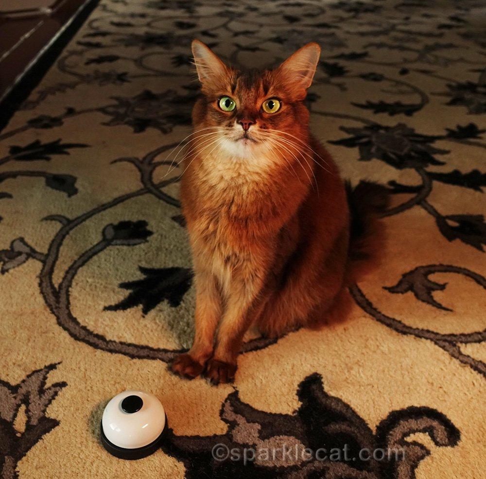 somali cat with light set for incandescent