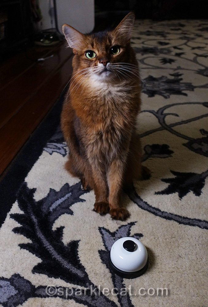 Somali cat posing with bell at night