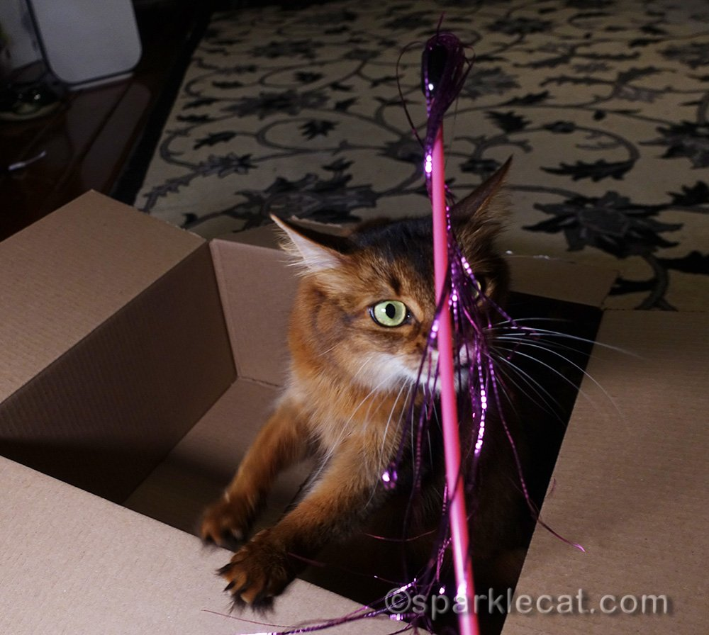 somali cat playing with toy and box