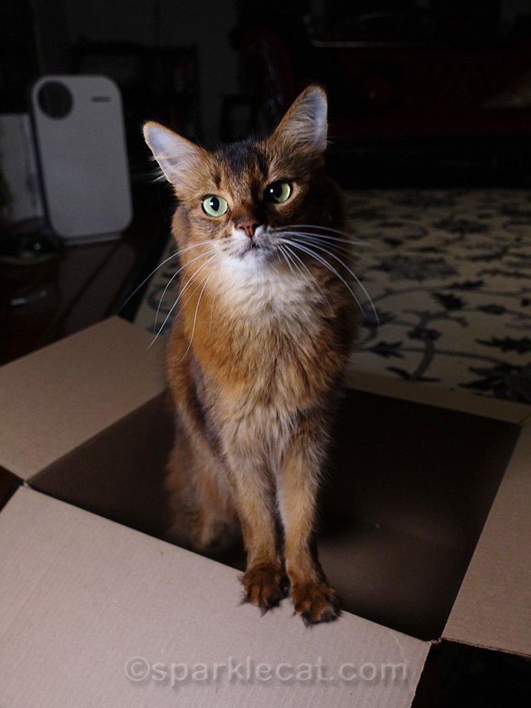 somali cat looking cute in box