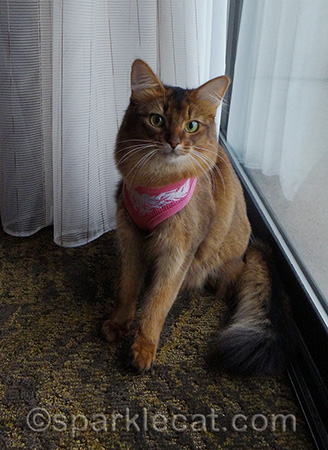 Somali cat, cat harness, portland oregon
