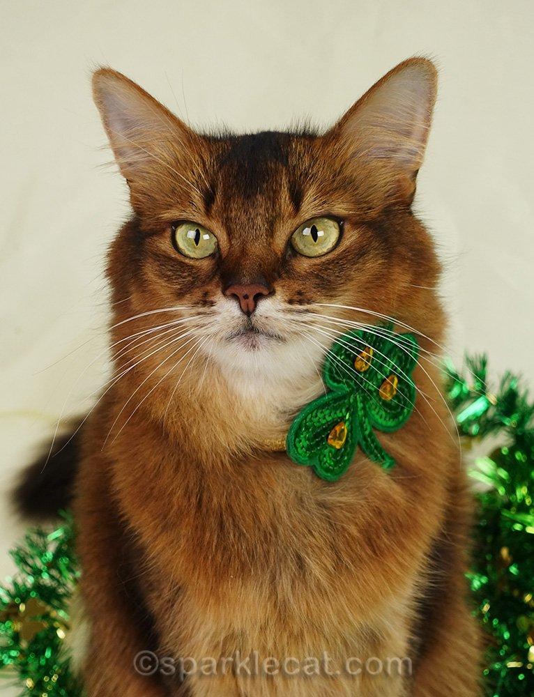 somali cat unsuccessfully wearing shamrock collar