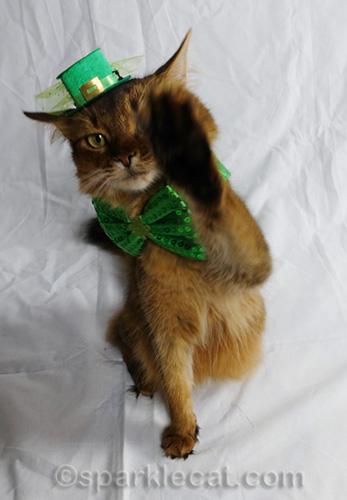 somali cat waving at camera and covering half her face