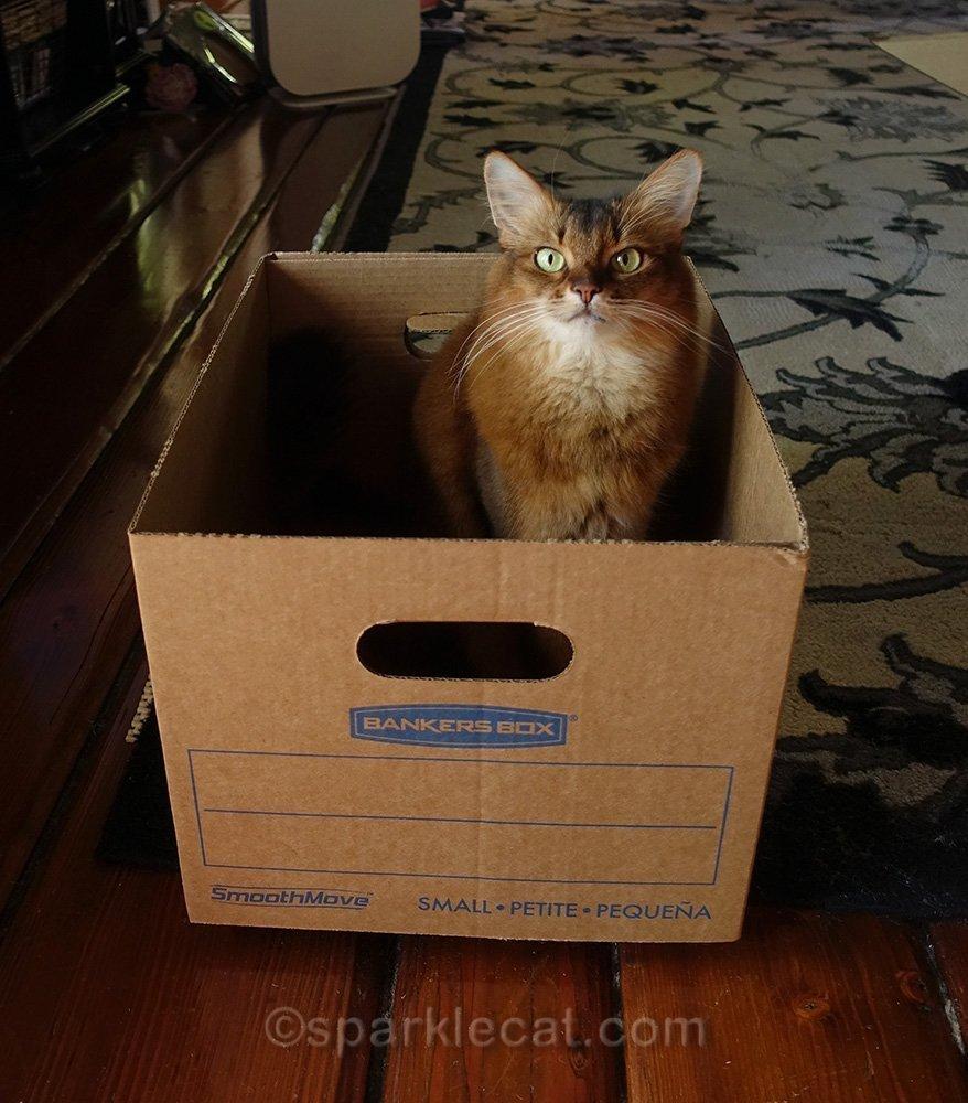 somali cat sitting in box