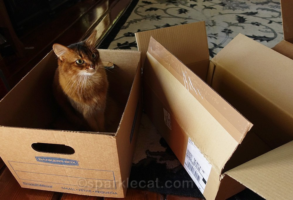 somali cat with awesome boxes