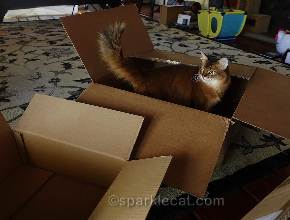 somali cat trying out large box