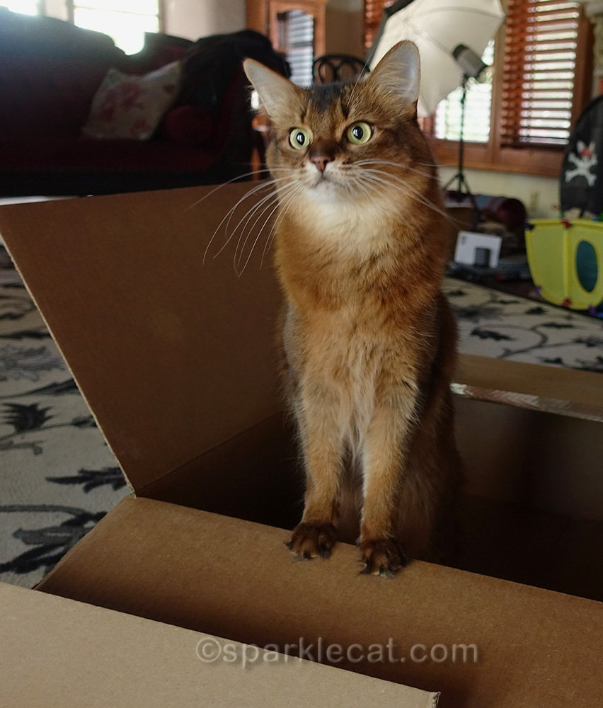 somali cat surprised that she won't get to keep boxes