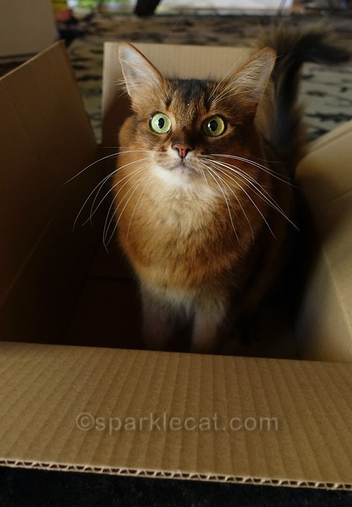 somali cat upset about losing boxes