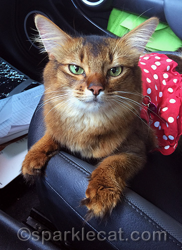 somali cat in polka dot dress after the blessing of the animals